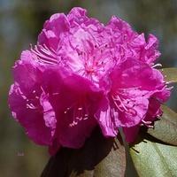 rododendron różowy.