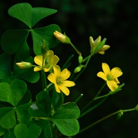 szczawik żółty