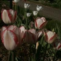 T -jak tulipany
