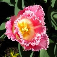 tulipan (prawie różowy)