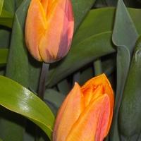 Tulipan 'Prinses Irene'