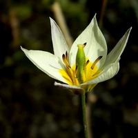 Tulipan Turkiestański:)