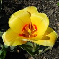 Tulipan w żółtym kolorze