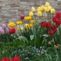 Tulipanowa gromadka.