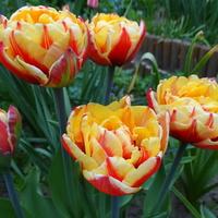 Tulipany jeszcze raz :)