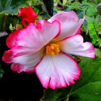 Ukosnica ( Begonia)