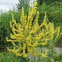 Verbascum lychnitis - Dziewanna firletkowa
