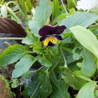 Viola ssp. na dzień dobry :)