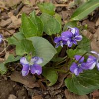 Viola w ciapki :)