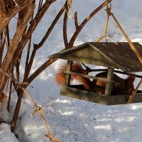 W - wiewiórka i śnieg