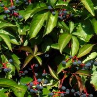 W - winobluszcz z owocnikami