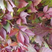 Winobluszcz w jesieni.