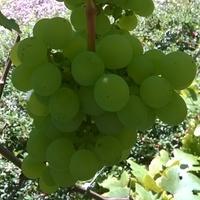 Winogronowa kiść.