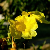 Yellow Trumpet Vine:)