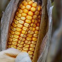 zea mays (kukurydza zwyczajna)
