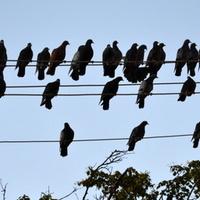 zebranie ptactwa