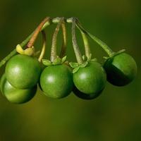 zielone kulki ....