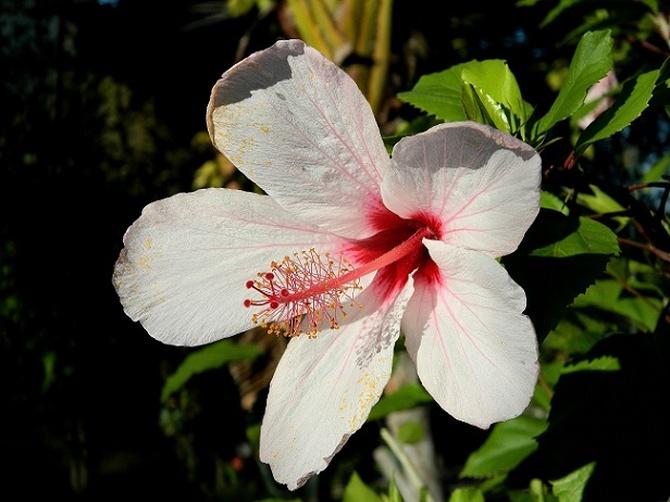 Delikatny róż hibiskusa:)
