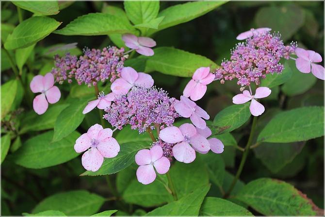 Hortensja z odrobiną fioletu...