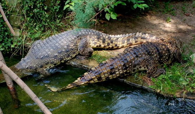 Krokodyle w ZOO