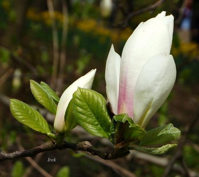 Magnolia prawie biała.