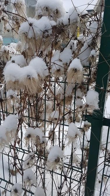 Śnieżne kotki