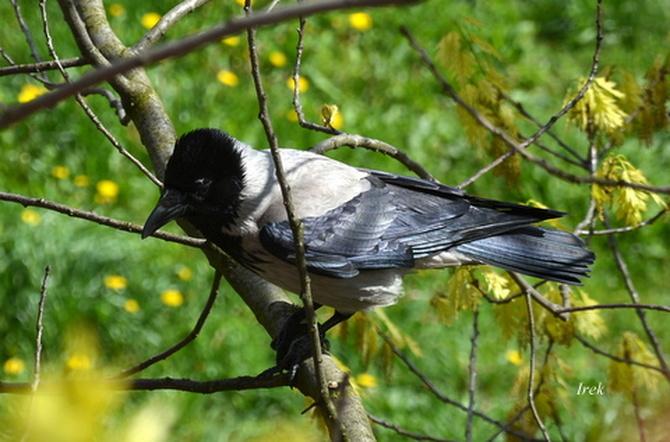 Ptak czarno-biały