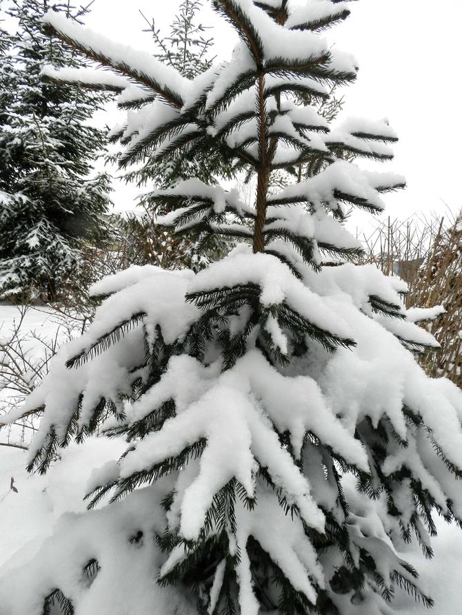Puszysty śnieg na gałązkach