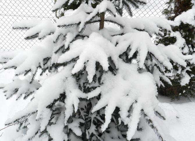 Puszysty śnieg na świerkowych gałązkach