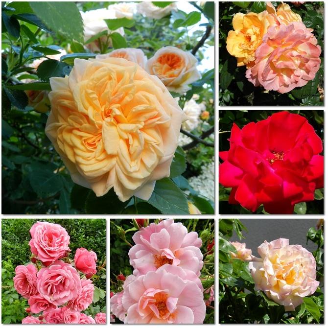 Róża,Królowa kwiatów