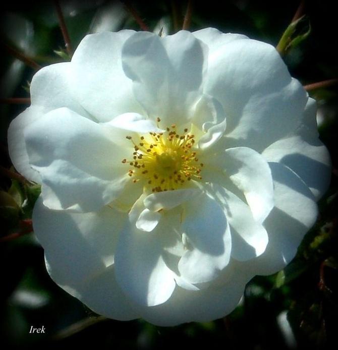róża śnieżno-biała