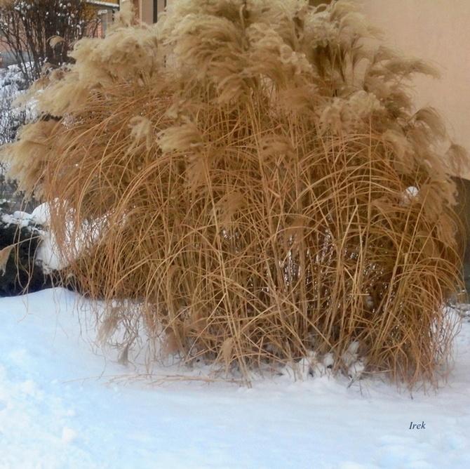 Trawy ozdobne na moim osiedlu w śniegu