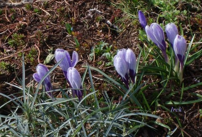 Wiosną krokusy będą wybijać się z ziemi.