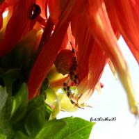Biedronka i pająk