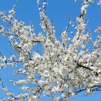 Biel kwiatów i błękit nieba