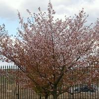 Czekamy na takie kwitnące drzewa