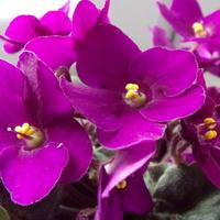 Fiołek powinien być fioletowy!