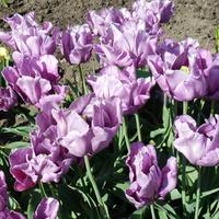 Fioletowe tulipany
