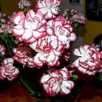 Goździk- Dianthus