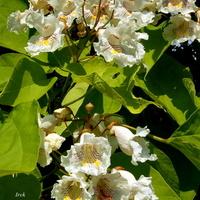 Katalpa wielokwiatowa ma śliczne kwiaty