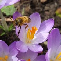 Krokusy już są pszczoły też