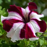 kwiat dwubarwny
