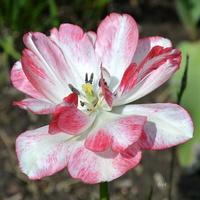 Kwiatek dwukolorowy