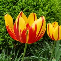 Kwiaty dwukolorowe