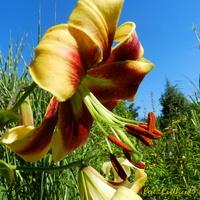 Kwiaty lata-lilie
