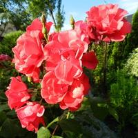 Kwiaty w czerwonym  kolorze