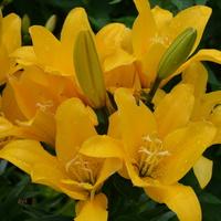 Lilie żółte