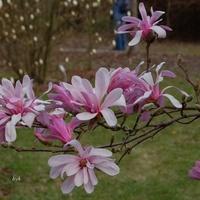 Magnolia różowa