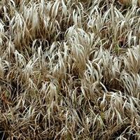 Niedługo zniknie też uschnięta trawa.