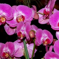 orchidea różowa